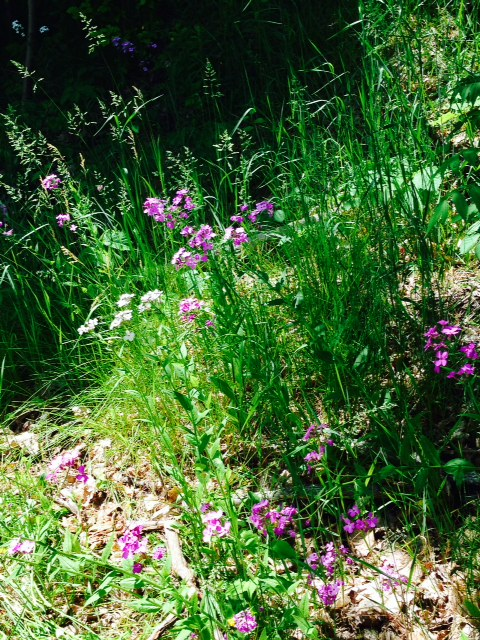 Flowers on the trail (Dames Rocket?)