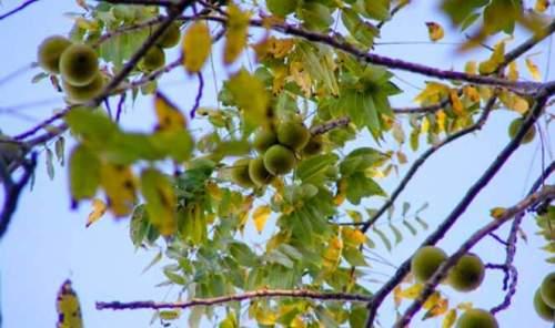 MRGblackwalnuts