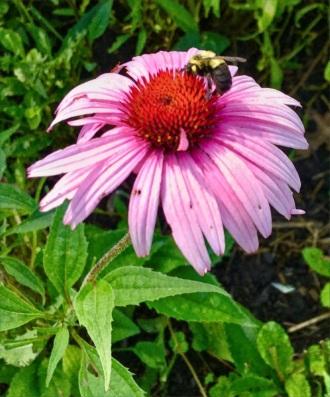 echinaceabee